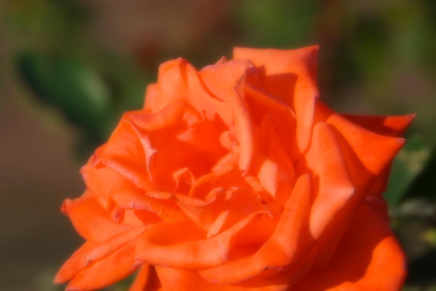 旧古河庭園の薔薇1_a0263109_18350021.jpg