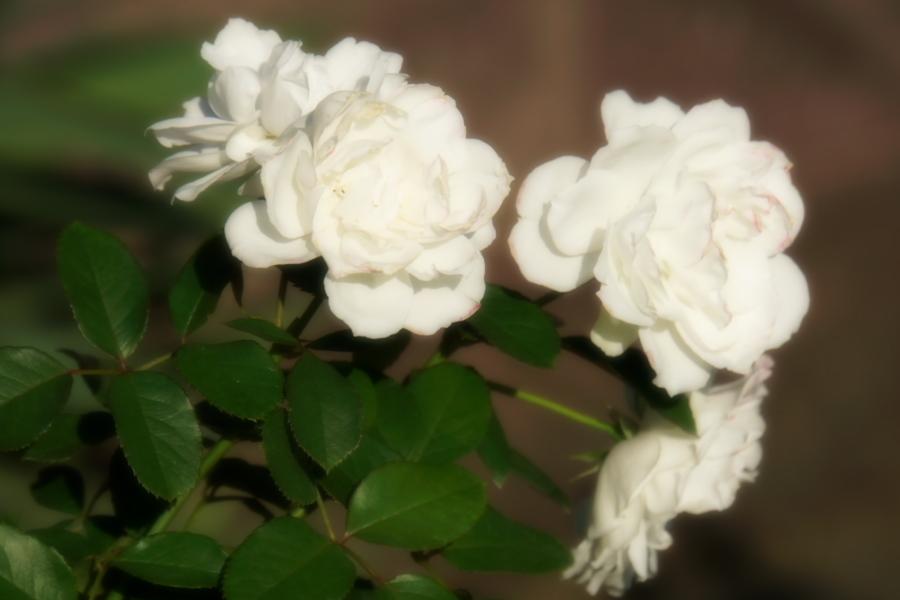 旧古河庭園の薔薇1_a0263109_18350027.jpg