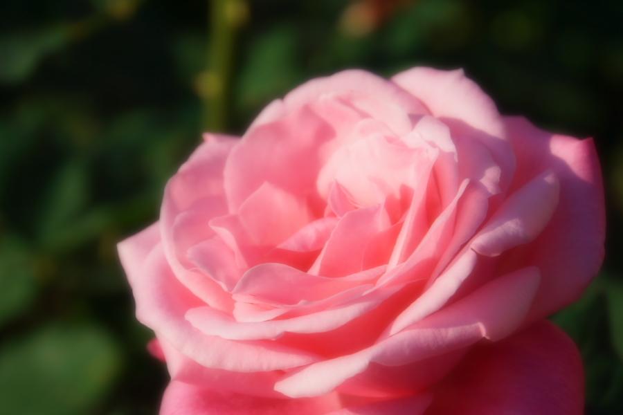 旧古河庭園の薔薇1_a0263109_18350028.jpg