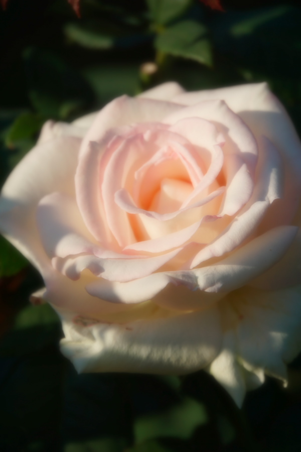 旧古河庭園の薔薇1_a0263109_18352009.jpg