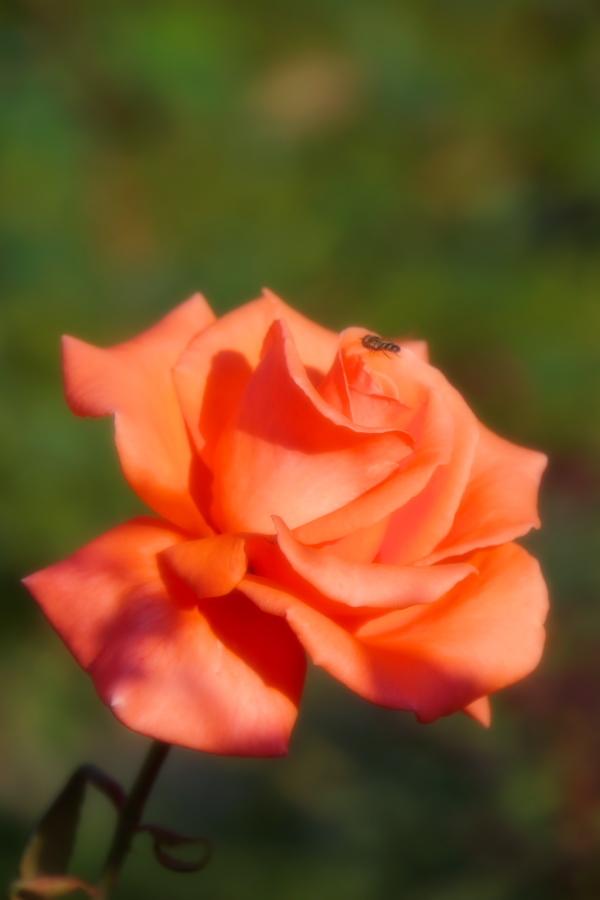旧古河庭園の薔薇1_a0263109_18352020.jpg