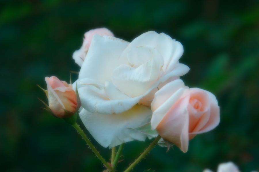 旧古河庭園の薔薇1_a0263109_18352049.jpg
