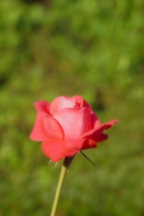 旧古河庭園の薔薇1_a0263109_18352090.jpg