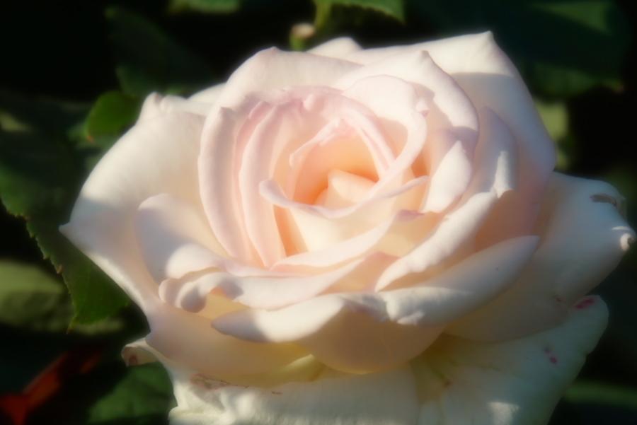 旧古河庭園の薔薇1_a0263109_18352092.jpg