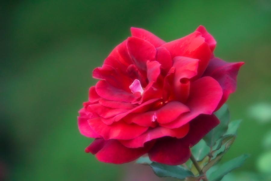 旧古河庭園の薔薇1_a0263109_18352129.jpg