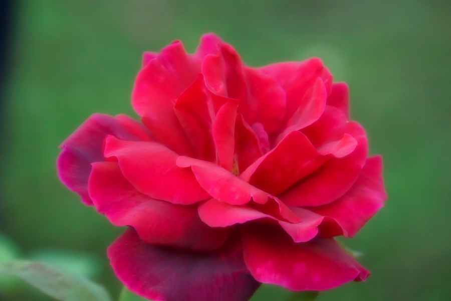旧古河庭園の薔薇1_a0263109_18352131.jpg