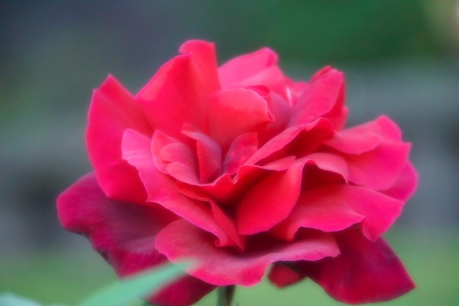 旧古河庭園の薔薇1_a0263109_18352167.jpg