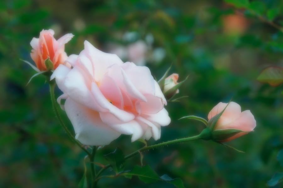 旧古河庭園の薔薇1_a0263109_18352193.jpg