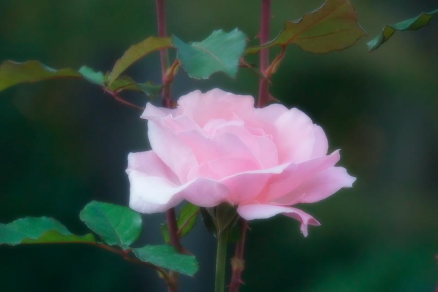旧古河庭園の薔薇1_a0263109_18360505.jpg