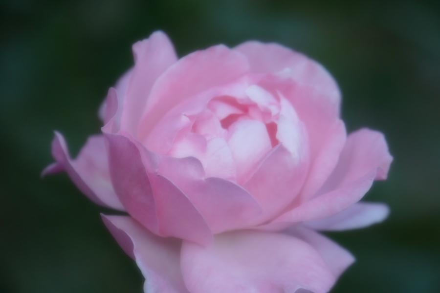 旧古河庭園の薔薇1_a0263109_18360510.jpg