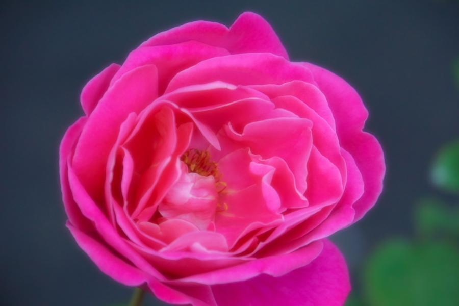 旧古河庭園の薔薇1_a0263109_18360518.jpg