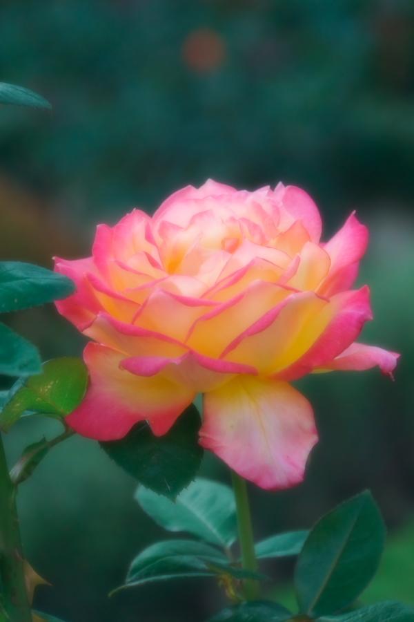 旧古河庭園の薔薇1_a0263109_18360547.jpg