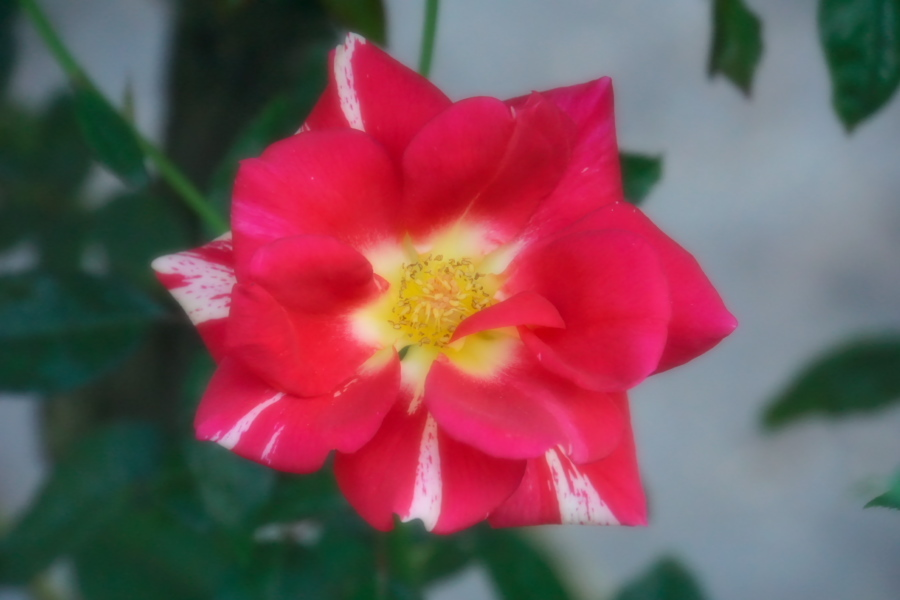 旧古河庭園の薔薇1_a0263109_18360554.jpg