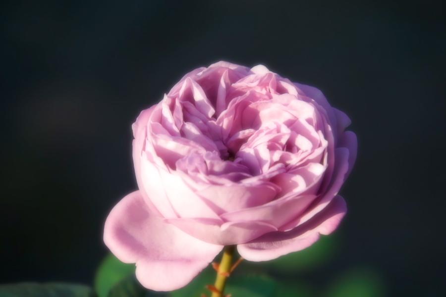 旧古河庭園の薔薇1_a0263109_18360657.jpg