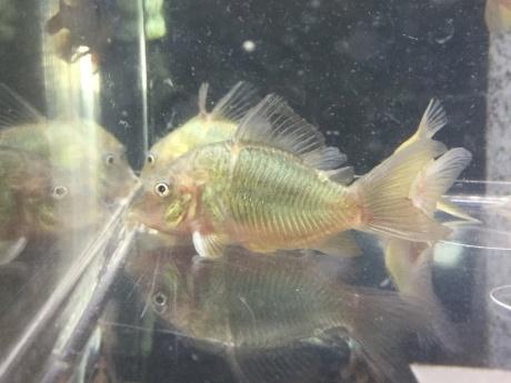 191114 熱帯魚 めだか 金魚 水草_f0189122_11200518.jpeg