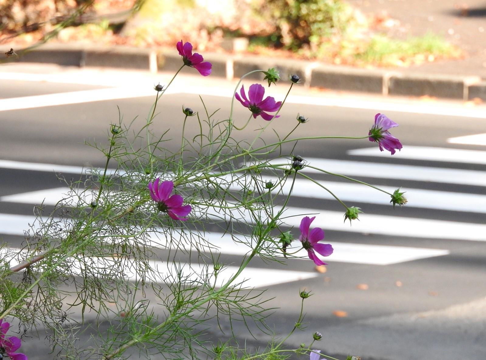 横断歩道を渡るコスモス_e0406450_11465850.jpg