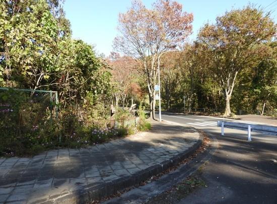 横断歩道を渡るコスモス_e0406450_17270464.jpg
