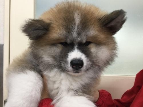 New  Face 〜秋田犬〜_d0389067_13510347.jpeg