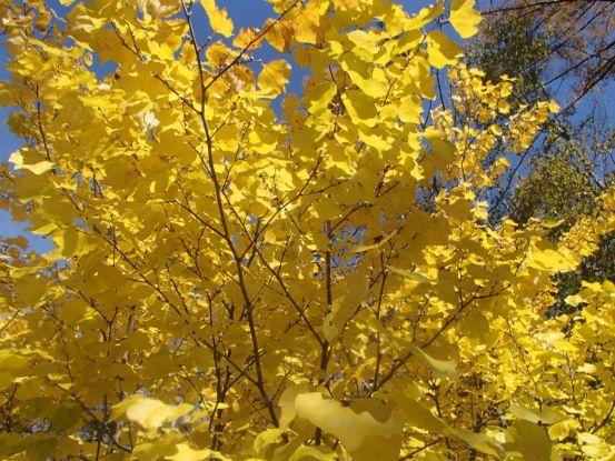 庭の黄葉と落ち葉_f0064906_15184405.jpg