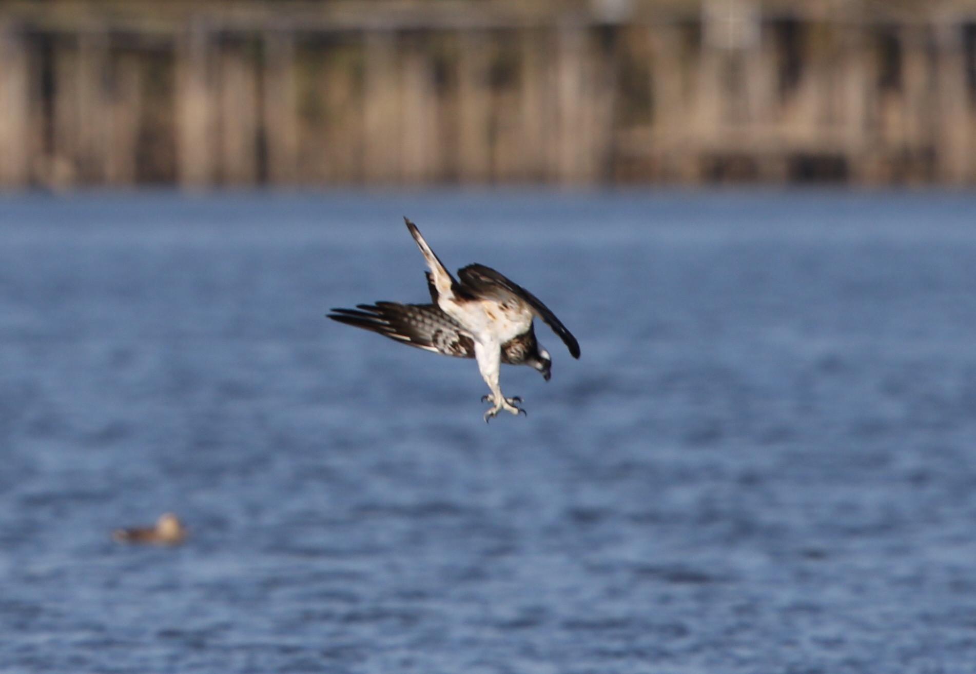 MFの沼でミサゴの狩りを その13_f0239515_1638455.jpg