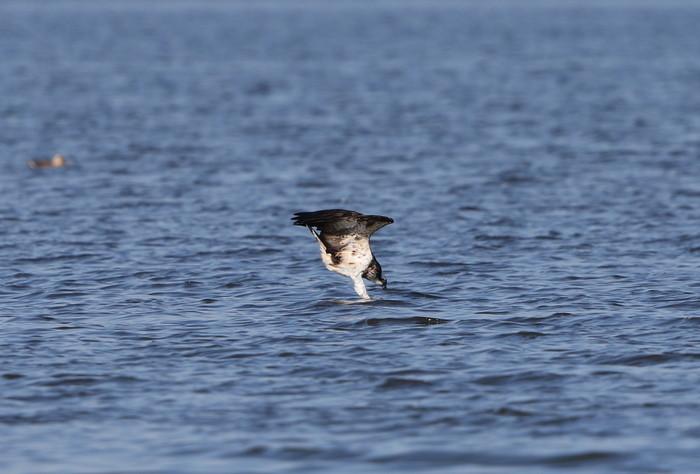 MFの沼でミサゴの狩りを その13_f0239515_16391894.jpg