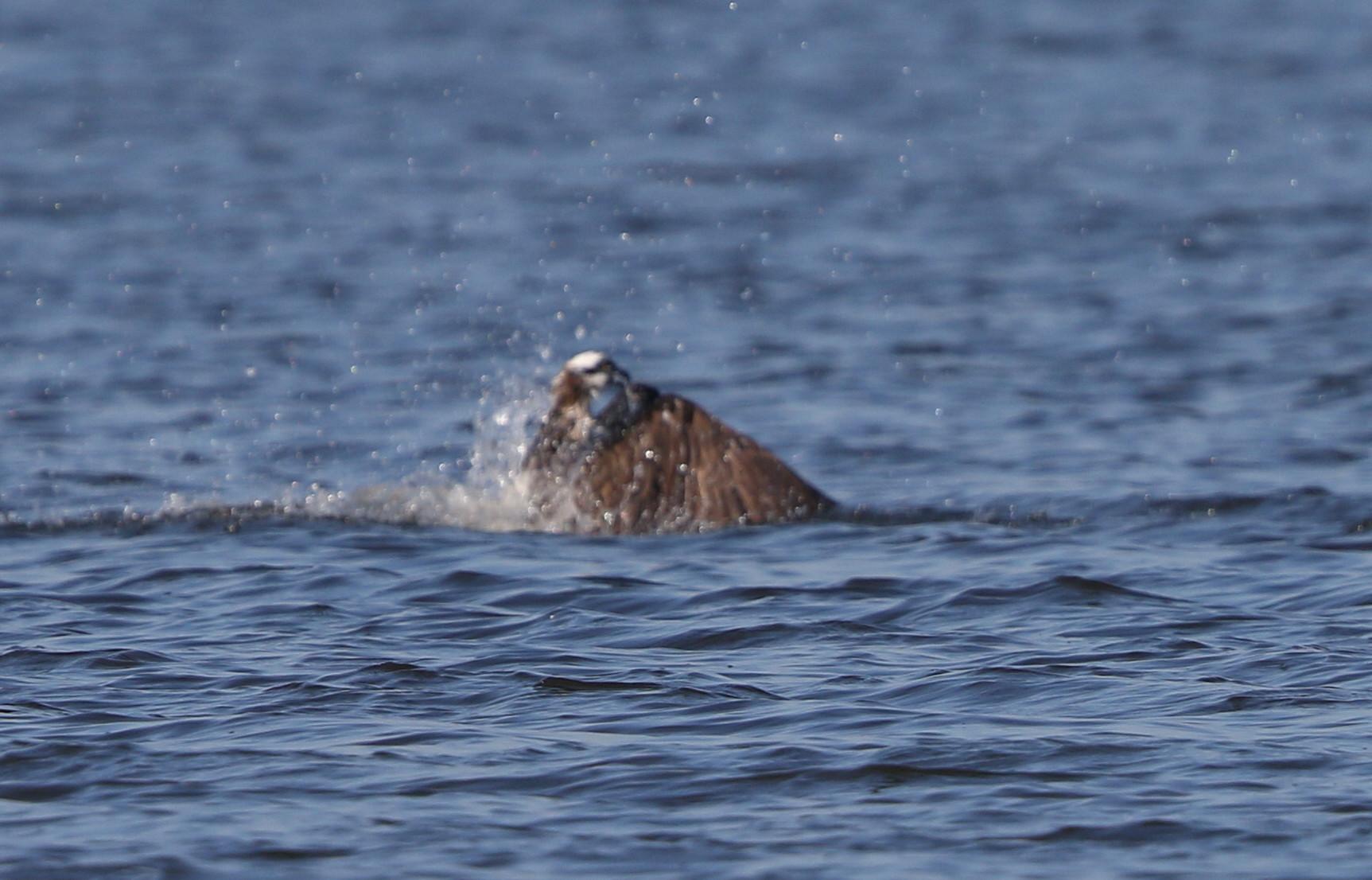 MFの沼でミサゴの狩りを その13_f0239515_16402099.jpg