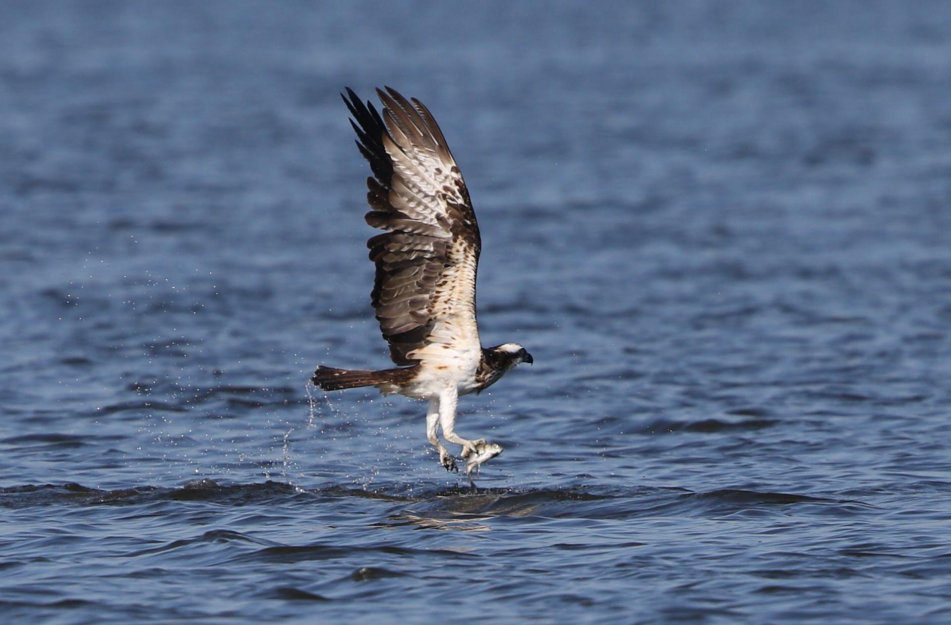 MFの沼でミサゴの狩りを その13_f0239515_16412418.jpg