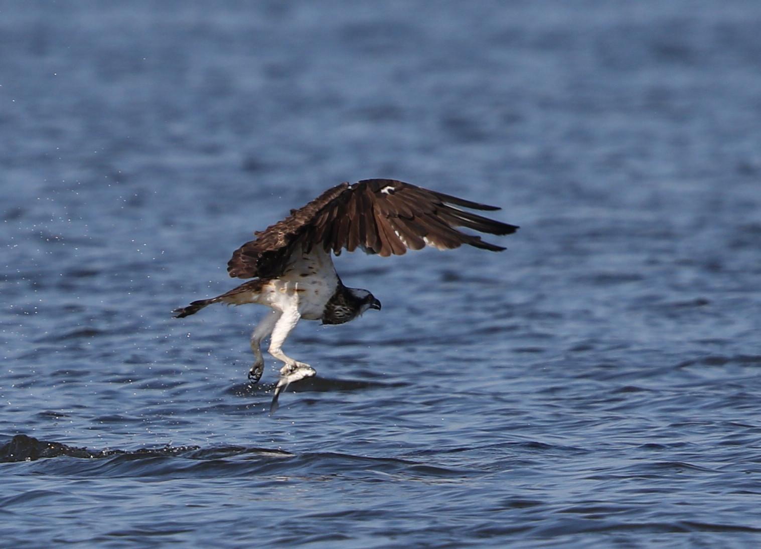 MFの沼でミサゴの狩りを その13_f0239515_164153100.jpg