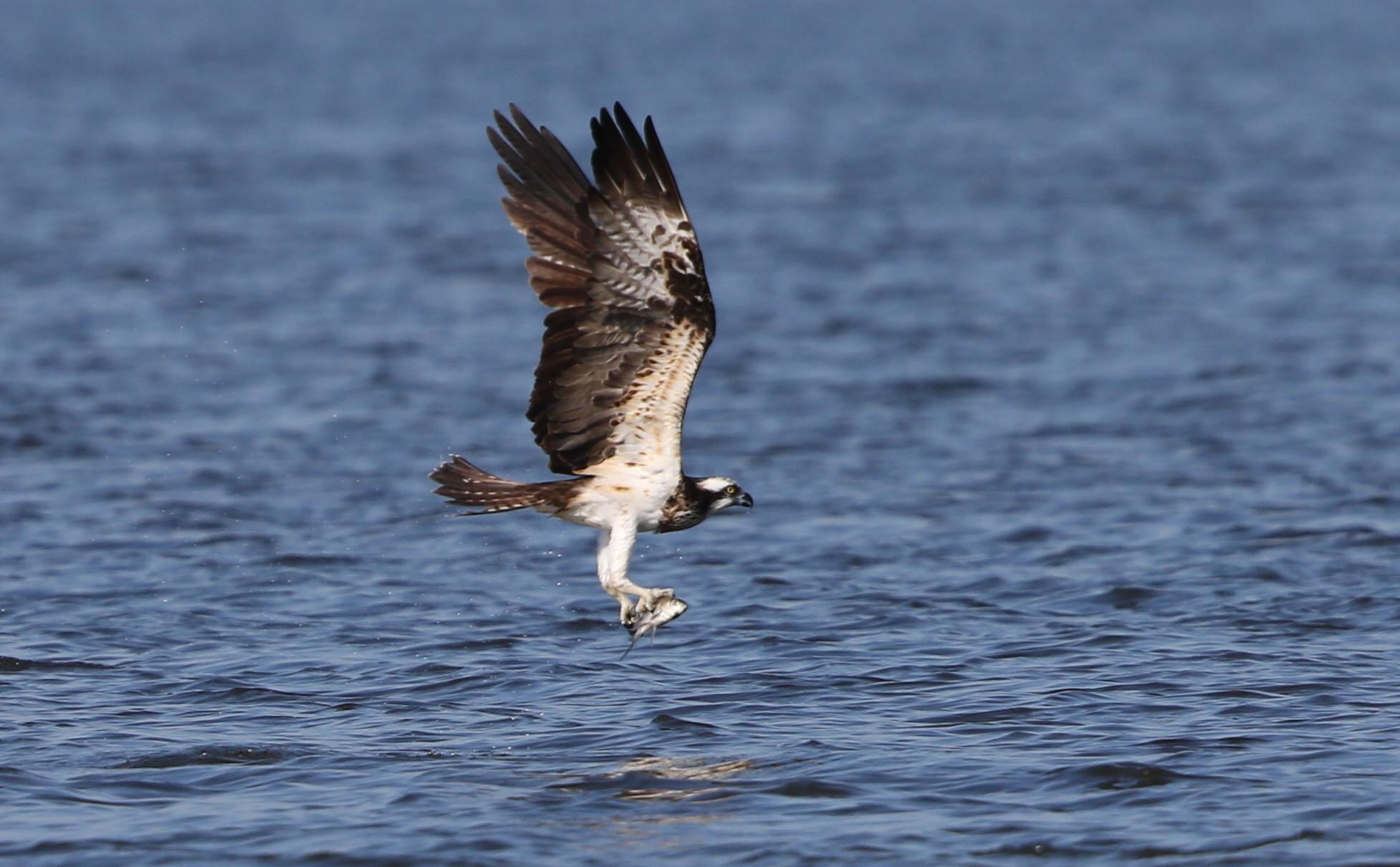 MFの沼でミサゴの狩りを その13_f0239515_16425049.jpg