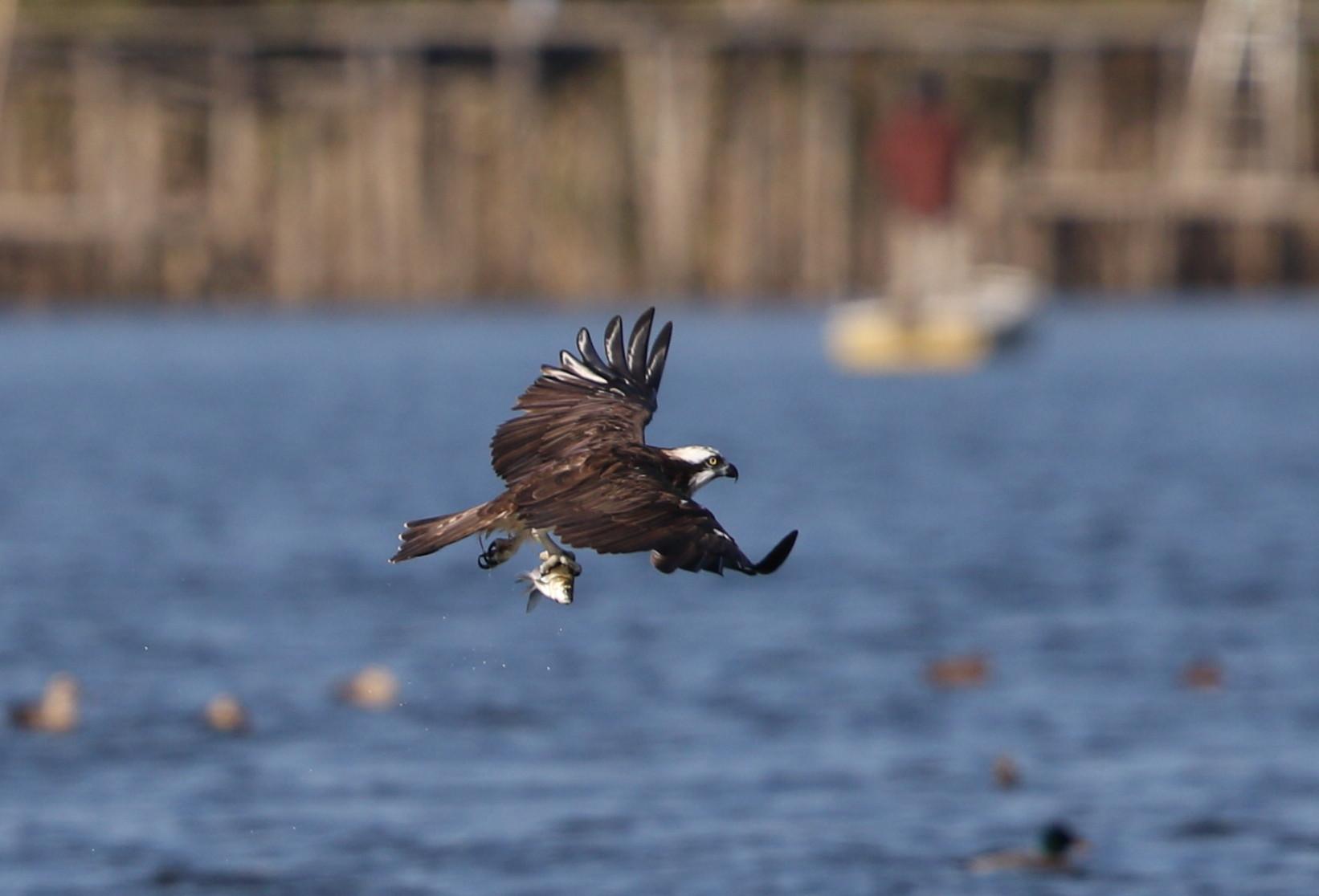 MFの沼でミサゴの狩りを その13_f0239515_16432330.jpg