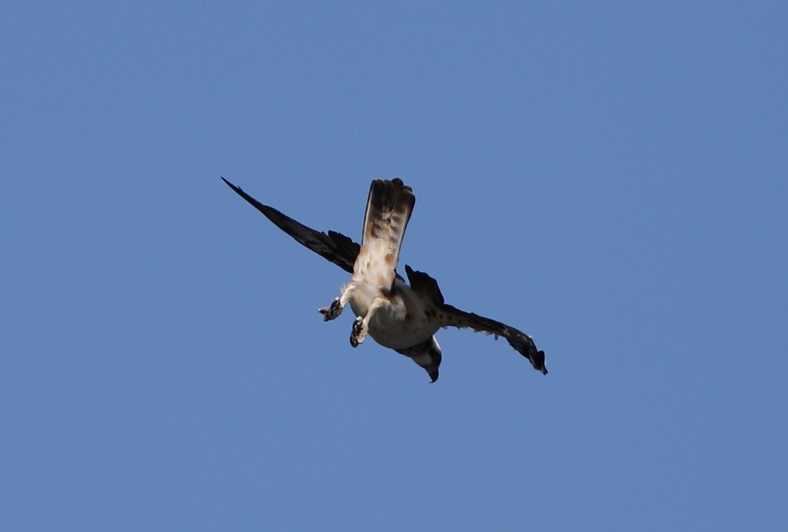 MFの沼でミサゴの狩りを その14_f0239515_17391165.jpg