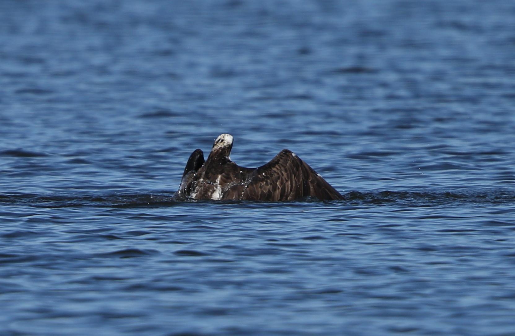 MFの沼でミサゴの狩りを その14_f0239515_17411428.jpg