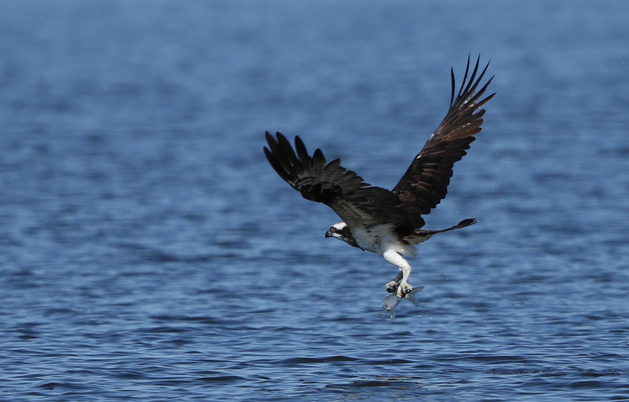 MFの沼でミサゴの狩りを その14_f0239515_17413483.jpg