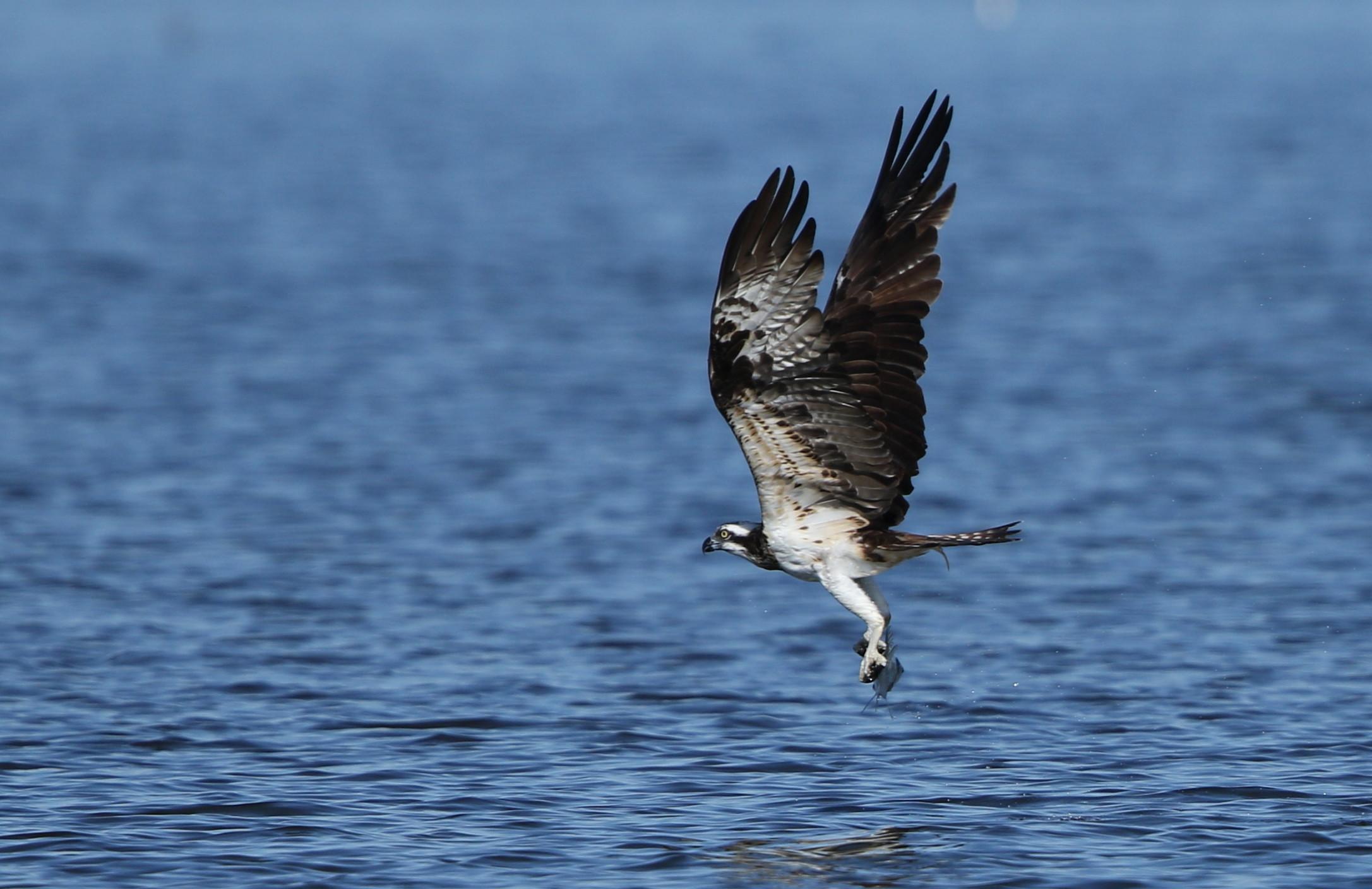 MFの沼でミサゴの狩りを その14_f0239515_17421132.jpg