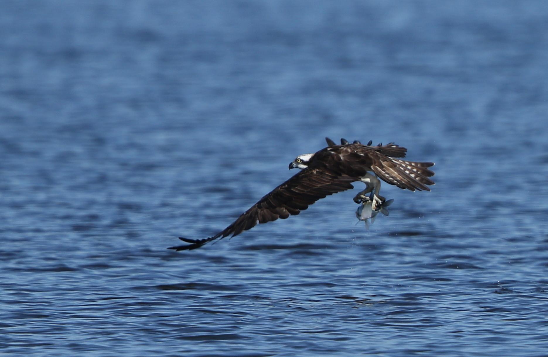 MFの沼でミサゴの狩りを その14_f0239515_17423586.jpg