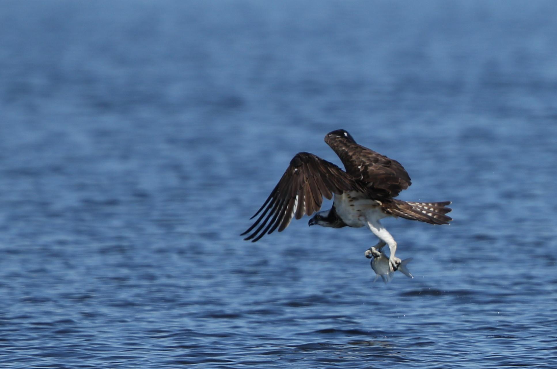 MFの沼でミサゴの狩りを その14_f0239515_17425552.jpg