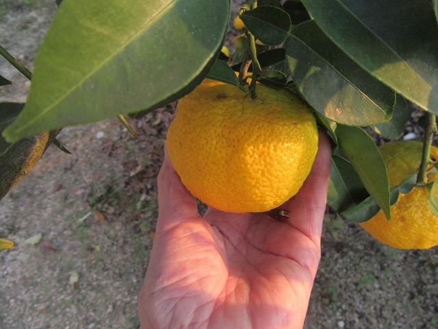 干し柿と柚子茶_e0072023_1351223.jpg