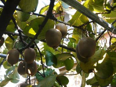 令和元年度の水源キウイ!予約受付スタート!完全無農薬・無化学肥料の国産キウイ!収穫始めました!_a0254656_17025162.jpg
