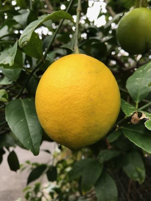 ブロッコリー、鎌倉ダイコン、レモン初収穫11・14_c0014967_18210620.jpg
