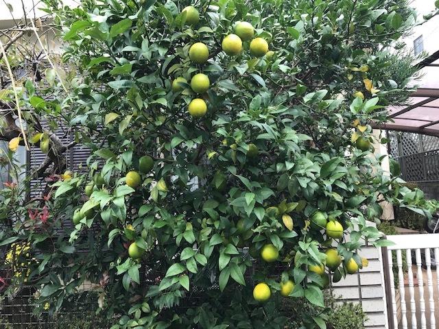 ブロッコリー、鎌倉ダイコン、レモン初収穫11・14_c0014967_18211619.jpg