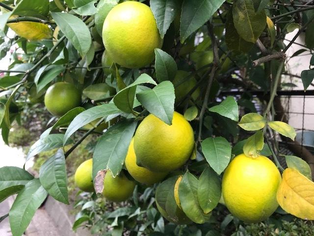 ブロッコリー、鎌倉ダイコン、レモン初収穫11・14_c0014967_18213049.jpg