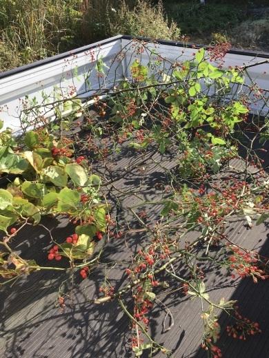 『赤い実を採りに』&『クリスマス準備ほぼ整いました』_c0334574_16473299.jpg