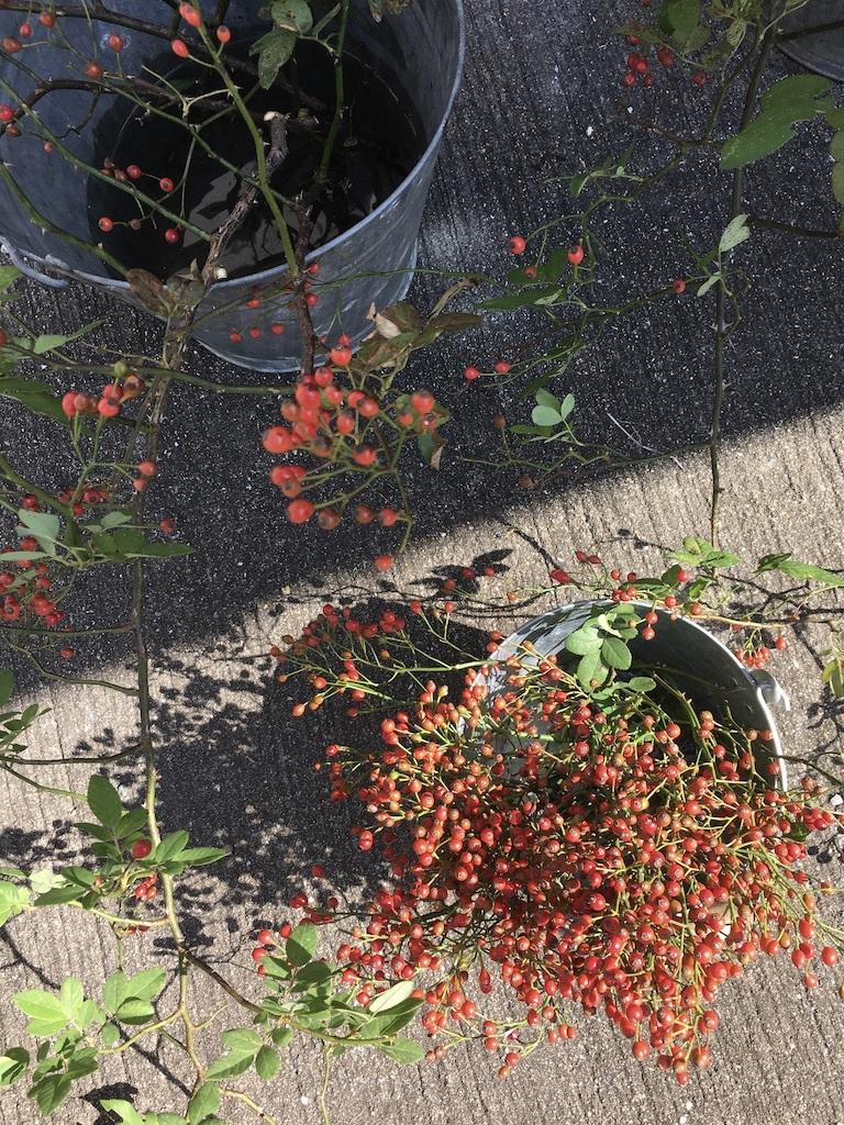 『赤い実を採りに』&『クリスマス準備ほぼ整いました』_c0334574_16474808.jpg