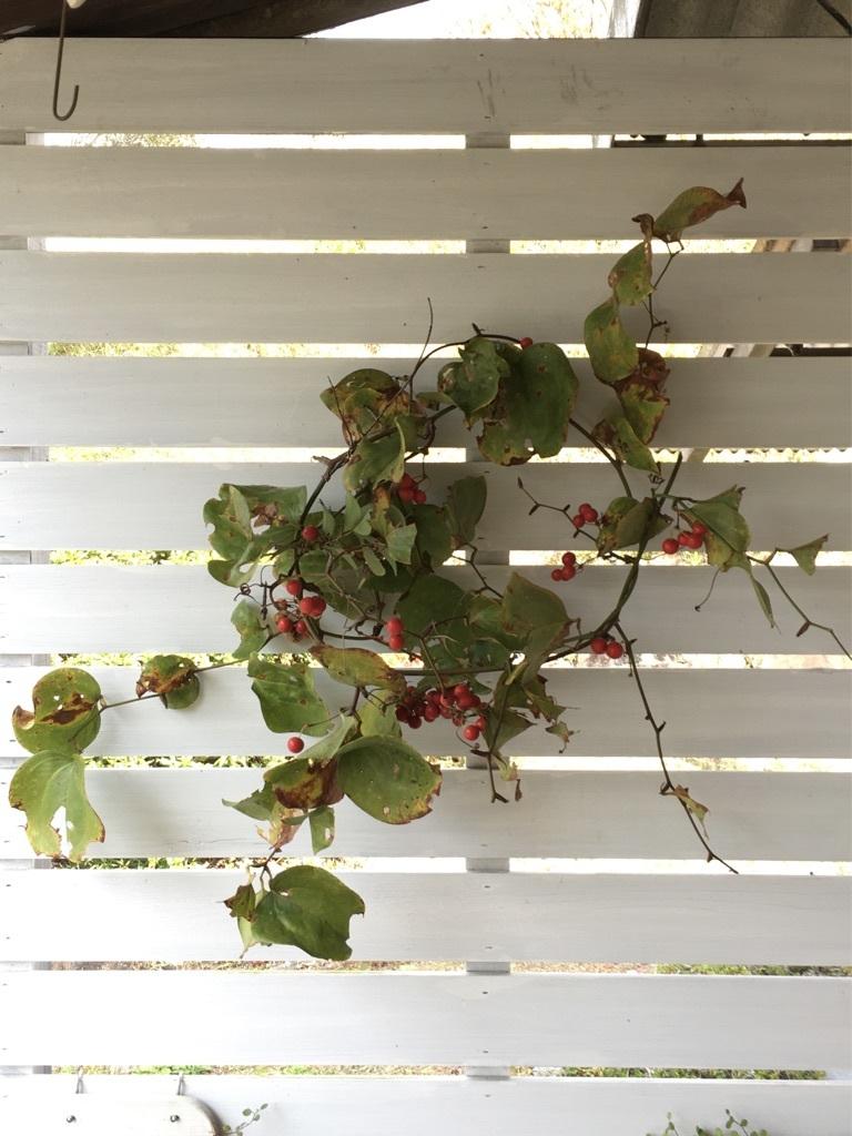 『赤い実を採りに』&『クリスマス準備ほぼ整いました』_c0334574_16481112.jpg