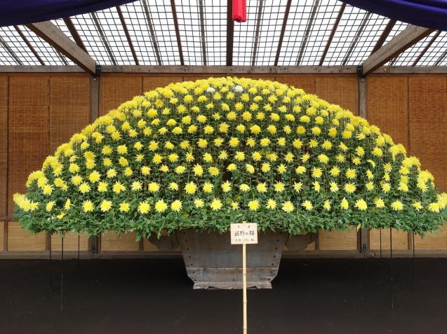 新宿御苑の菊花壇展を見に行きました_e0232277_13430430.jpg