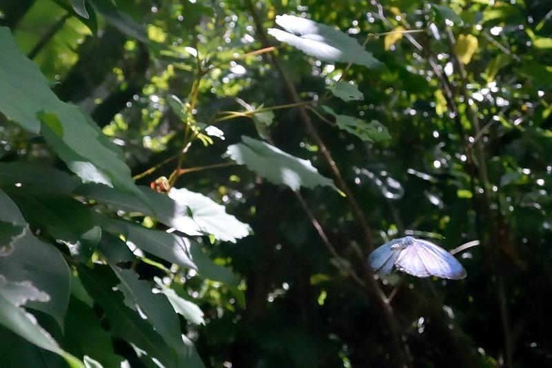 石垣島初日(イワカワシジミの産卵とシロウラナミシジミの交尾:2019/11/9)_f0031682_10141989.jpg