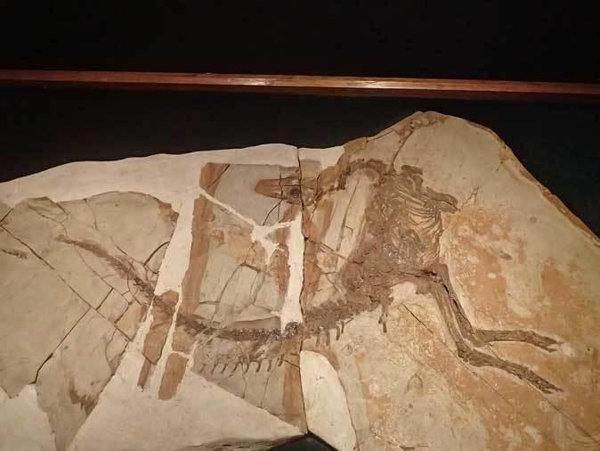 恐竜博2019:恐竜人間!ディノサウロイド現る!!~羽毛恐竜シノサウロプテリクス_b0355317_18594263.jpg