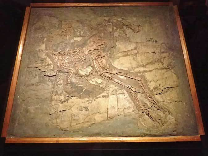 恐竜博2019:恐竜人間!ディノサウロイド現る!!~羽毛恐竜シノサウロプテリクス_b0355317_19281621.jpg