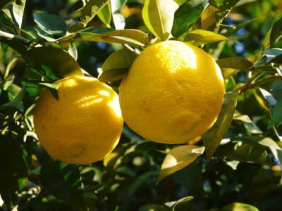 香り高き柚子 令和元年の出荷を本日よりスタート!大人気の「冬至用柚子」のご予約はお急ぎ下さい!!_a0254656_17291908.jpg
