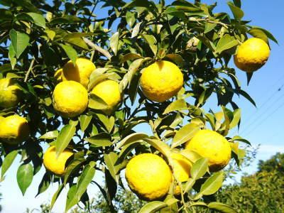 香り高き柚子 令和元年の出荷を本日よりスタート!大人気の「冬至用柚子」のご予約はお急ぎ下さい!!_a0254656_17331019.jpg